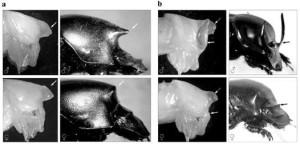 Рис. 4. Самки рогатых жуков раньше тоже имели рог, но затем его утратили (а). У самки Onthophagus nigriventris на стадии куколки образуется рог, которого нет у взрослого насекомого. взрослые самцы рогаты. У жуков Onthophagus taurus рог на переднеспинке теряют даже самцы, хотя у куколок он есть (b) (Moczek, 2005)