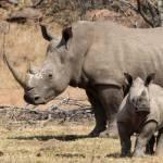 8 место – рог носорога