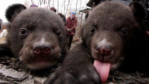 Биологи: медведицы с детенышами выходят к людям, чтобы спасти потомство от самцов